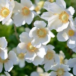 signification-fleurs-blanche